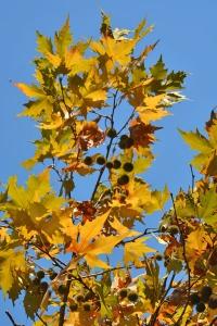 Platanus Foliage