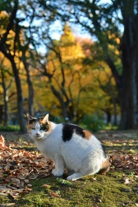 紅葉猫 Sakura-chan The Cat and Autumn Trees