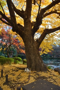 Tokyo Park Cat and Golden Ginkgo Tree