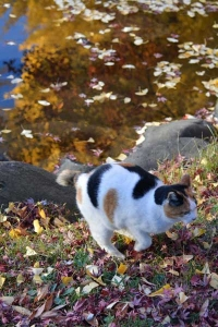 Japanese Bobtail Cat By The Pond, Tokyo Park