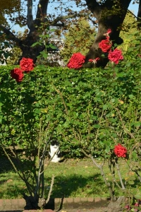 Cat and Sunny Roses