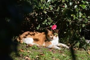 Sasanqua Cat