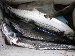 サワラは良く釣れる。