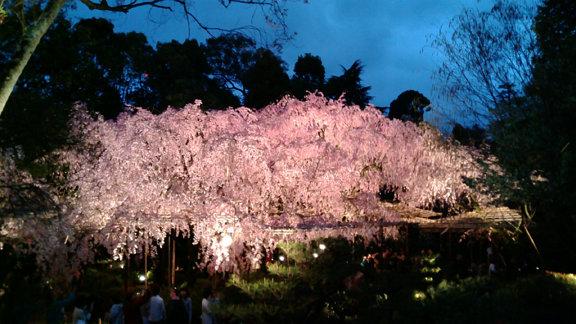 平安神宮夜桜①