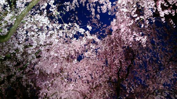 平安神宮夜桜②