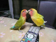仲良し小桜インコの夫婦
