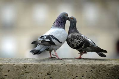 doves-Animals-Kiss.jpg