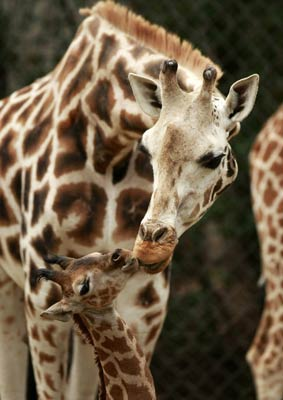 giraffe-Animals-Kiss.jpg
