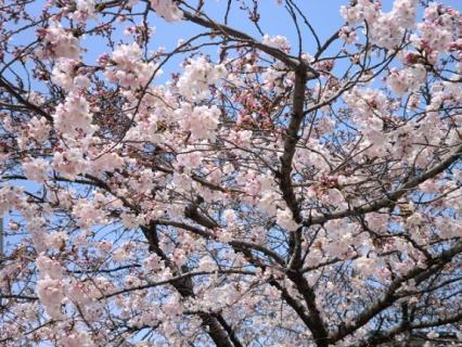 千林公園 桜-1