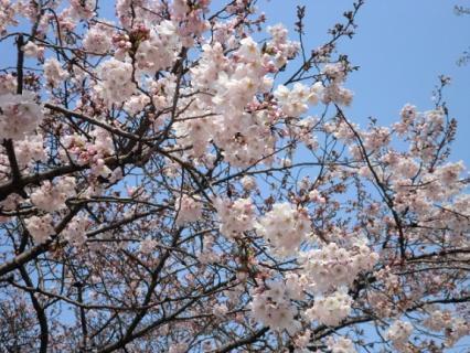 千林公園 桜-2