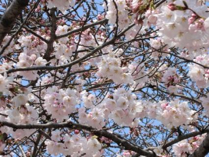 千林公園 桜-3