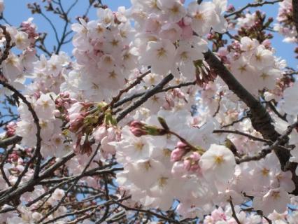 千林公園 桜-4