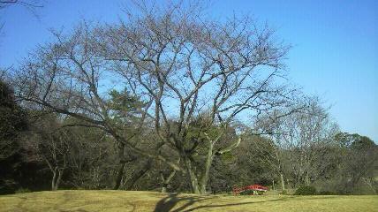 森林公園正門桜開花状況120311