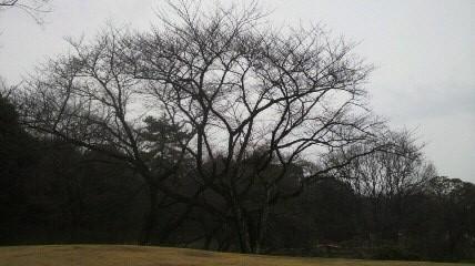 12年3月18日桜開花状況森林公園正門前