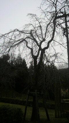 12年3月18日桜開花状況フルーツパーク