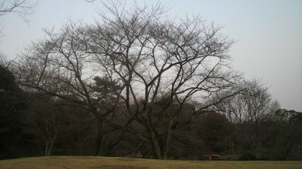 12年3月28日森林公園正門前の桜状況