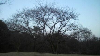 120329の森林公園正門桜