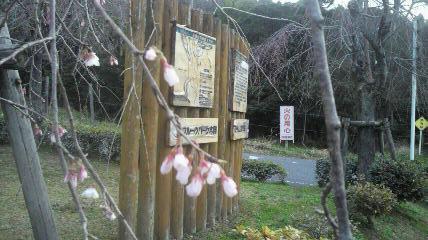 4月3日の東国山しだれ桜