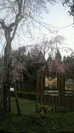 120412東国山しだれ桜