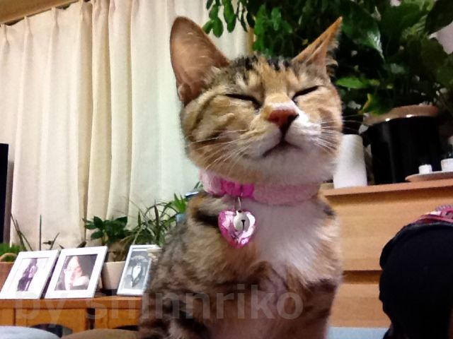 我が家の癒し猫ハピ