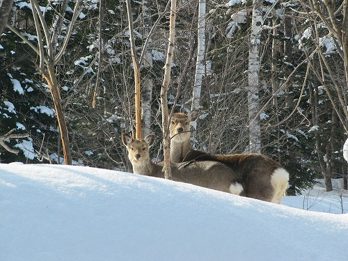 s-親子の鹿