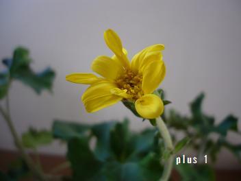 石蕗の花02