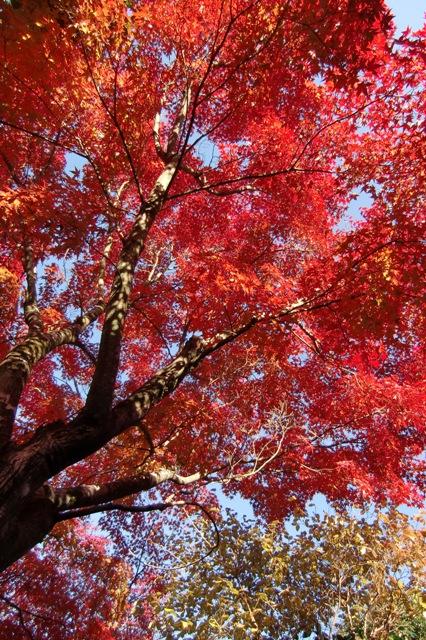 真っ赤に燃える紅葉