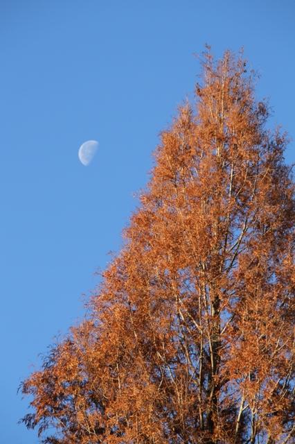 メタセコイアと下弦の月