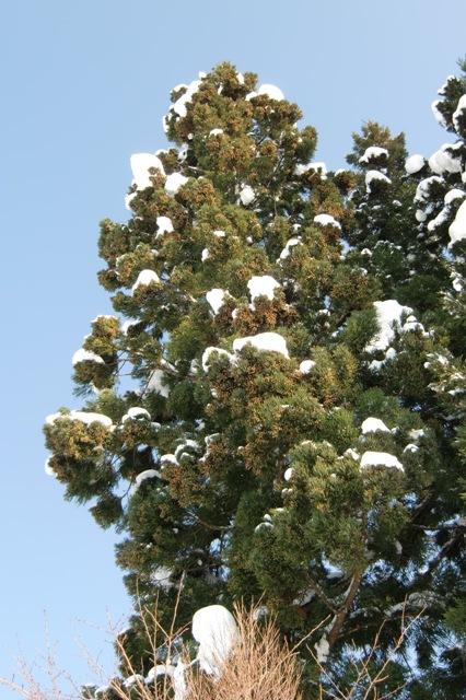 杉の木の雄花芽
