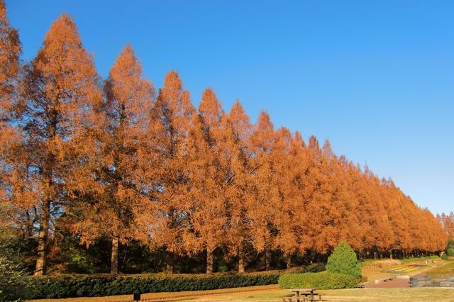 冬枯れしたメタセコイア並木