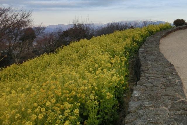 山頂付近の菜の花