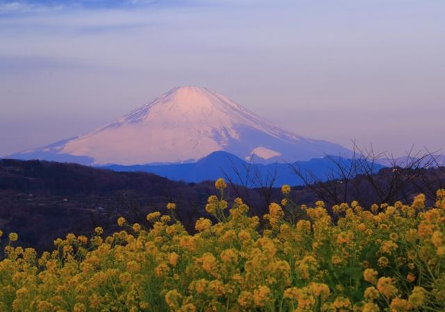 菜の花越しの雪の富士山