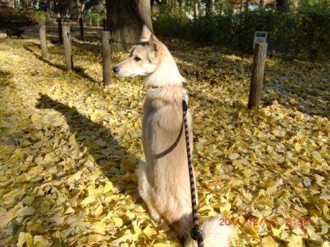 銀杏の落ち葉絨毯