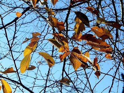 残り少ない枯葉が陽に映えるdownsize