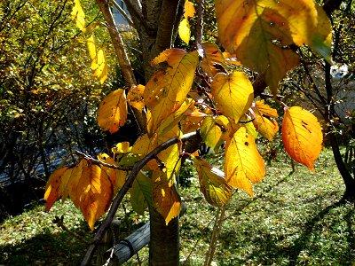 緑から黄色へ黄葉は色のグラデーションdownsize