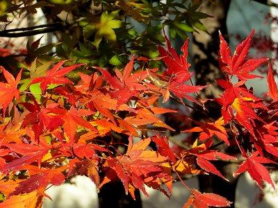 秋の陽を手いっぱいに受けてるようなモミジdownsize