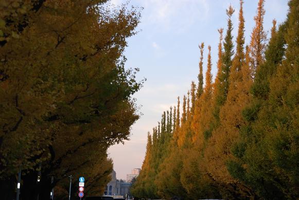 外苑前の銀杏並木の