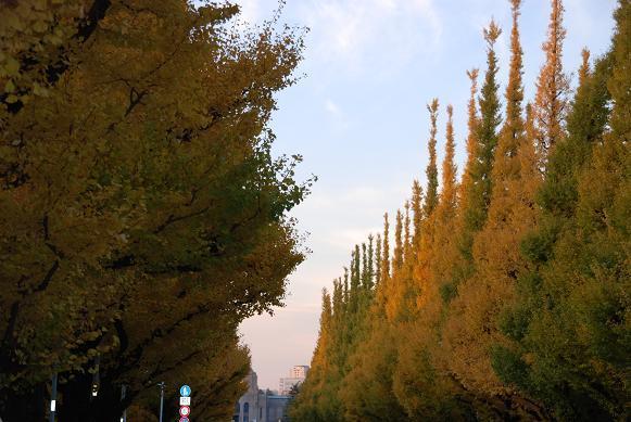 外苑の黄葉の銀杏