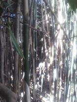 作業が大変なくらいに沢山の女竹が生えていました。