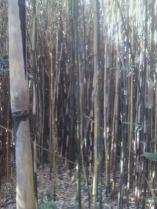 これだけ密集して生えていれば養分の取り合いです。立ち枯れする竹があるのも当たり前ですね。