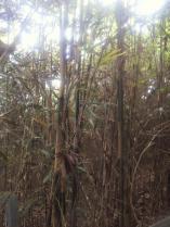 この竹もいずれ伐られてしまうんでしょうか・・・