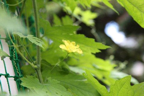 ゴーヤの花.jpg