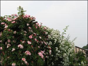 白薔薇+ピンク薔薇