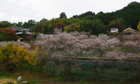 141116-山の辺の道 十月桜1