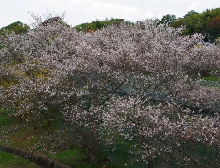 141116-山の辺の道 十月桜2