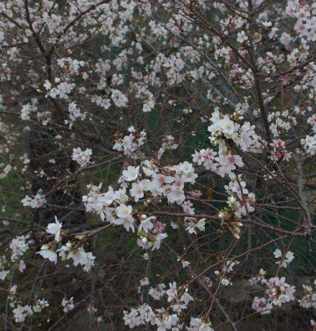 141116-山の辺の道 十月桜3