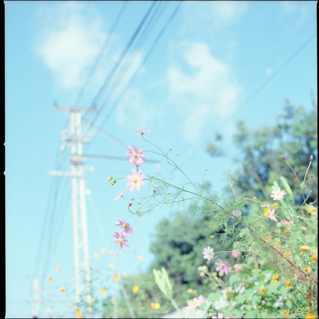 秋桜/沿線