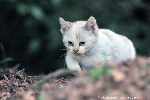 三白眼の仔猫