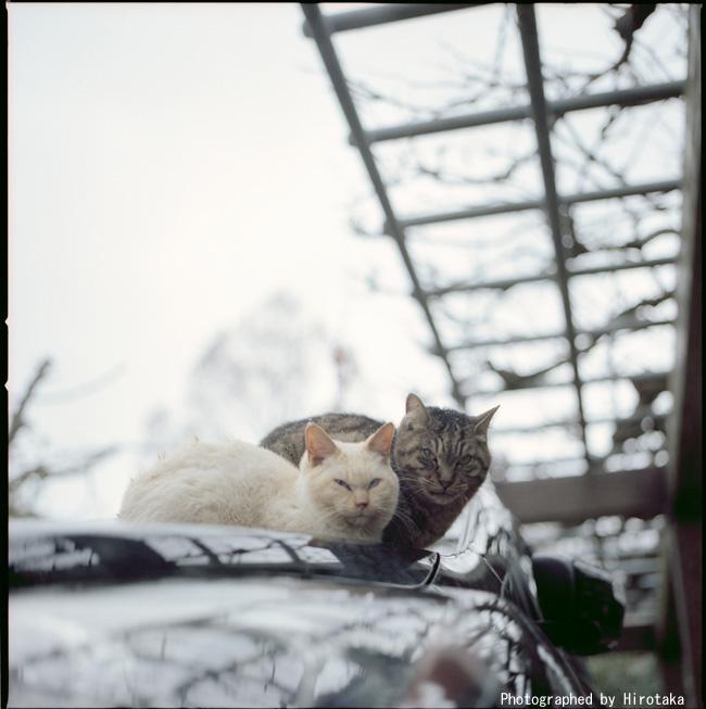 ボンネット猫団子