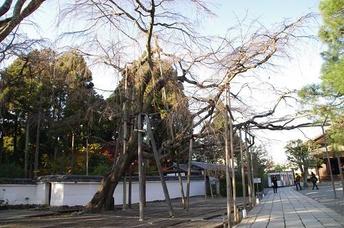0711三宝院太閤しだれ桜